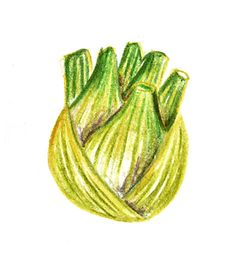 fennel colored pencil illustration
