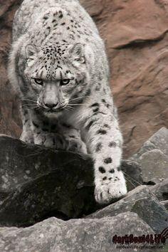*Снежный барс - Snow Leopard*  Descend by darkSoul4Life  Source photo: http://goo.gl/zS79VY - Mikhail Petrovsky - Google+
