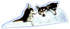 Those lovely huskies again - an integral part of our marketing campaign at Christmas