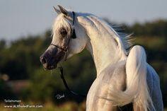 Website Inquiry Al Khaled Farm | Horse | Tallahsman