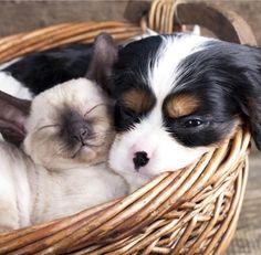 Siamese kitten w puppy sleeping in basket