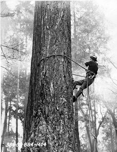Pollarding - To remove growth from a previously pollarded crown only scaffolding limbs remain or main stem. Can be done on early mature trees to create this growth form.
