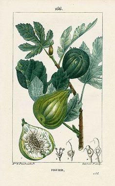 La figue - Turpin Botanical Prints 1815: