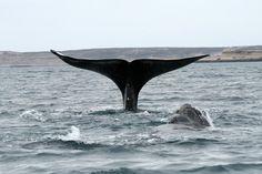 Southern Right Whale in Peninsula Valdes (Argentina) | Baleine franche australe dans la Péninsule Valdes (Argentine) | Ballena Franca Austral en Península Valdés (Argentina)