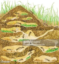 Stock Illustration : Cross-section of a harvester ant colony