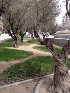 Ancient olive trees on the Playa de Espana in Madrid, Spain.