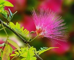 Free Image on Pixabay - Mimosa, Flower, Nature Mimosas, Essential Oil Perfume, Essential Oils, Planta Mimosa, Compost, Mimosa Pudica, Buy Trees Online, Color Verde Claro, Fast Growing Plants
