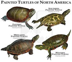 Painted Turtles of North America Poster Print/Field Guide Reptiles And Amphibians, Mammals, Painted Turtles, Kinds Of Turtles, Kawaii Turtle, Sea Turtle Species, Largest Sea Turtle, Turtle Habitat, Animals Information