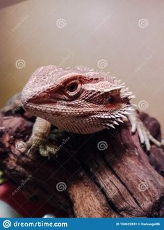 Photo about Bearded dragon basking on a driftwood in his enclosure. Image of reptile, spikes, claw - 134622831 Bearded Dragon, Driftwood, Reptiles, Close Up, Legs, Nature, Pictures, Animals, Image