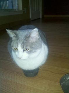Cat planted in a shoe - his favorite place to chill out. The shoe is half his size; he has all four feet shoved in there. #cat #cats #kitties