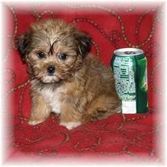 My next puppy, It's a Shorkie and it doesn't get any bigger