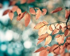 """Blue Brown Photography copper beige teal print aqua turquoise gold light photo leaves branches wall art rust leaf picture """"November Bliss"""" (35.00 USD) by CarolynCochrane"""