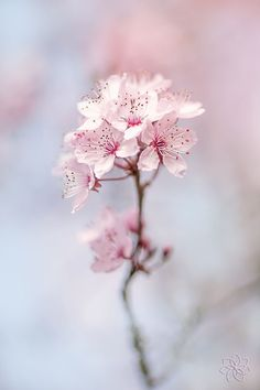 Pale pink flower |  blue sky background | Nature photo~~Spring Cherry Blossom by Jacky Parker~~