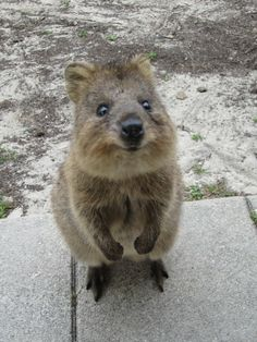quokka standing up smiling cute animals wild wildlife species planet earth nature pics pictures photos images Happy Animals, Animals And Pets, Funny Animals, Cute Animals, Beautiful Creatures, Animals Beautiful, Australian Animals, Little Critter, Tier Fotos