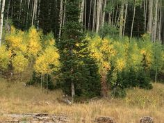The aspens are starting to change colors.  This is just off of Mill Hollow Road.