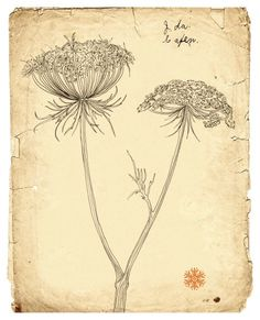 Queen annes lace, Line drawing, botanical art, old paper, wildflower, rustic, nature, Fine Art Print  Natural history drawing  8x10