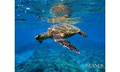 A great photo from Islands Magazine of one of Hawaii's adorable Green Sea Turtles (also known as Honu)!