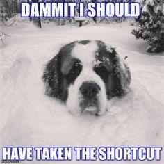 Yep, Saint Bernards love snow!