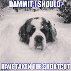Yep, Saint Bernards love snow!