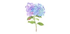 Blue Hydrangea Botanical Illustration with watercolors