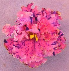 """Rare Russian African Violet Plant """"Le Autumn Fantasy"""" (Le Osenniaia Fantazii)"""