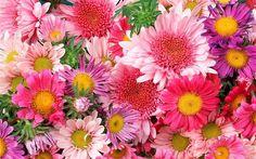 HD wallpaper: Colorful flowers, chrysanthemum, pink, pink-and purple dahlia flowers