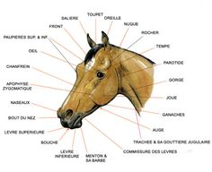 Les parties de la tete France Love, Horse Facts, Horse Posters, Animal Anatomy, Horse Care, Horse Breeds, Horse Riding, Line Drawing, Animal Drawings