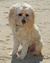 Oscar the Cockapoo.Cocker Spaniel/Poodle