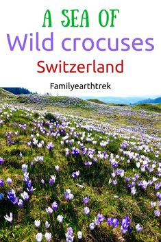 Hiking to A sea of wild crocuses in Rämisgummen, Switzerland – Family Earth Trek Places In Switzerland, Switzerland Vacation, Visit Switzerland, Travel Around The World, Around The Worlds, Go Hiking, Hiking Trails, Spring Day, Day Trips