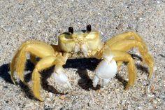 Crab, Hutchinson Island, FL