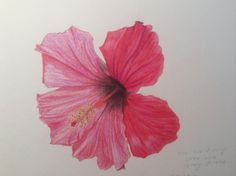 Hibiscus_Transition from colored pencils to watercolor pencils