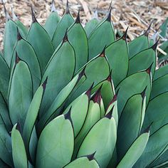 Absolutely love Agaves