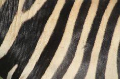 Zebra, SOUTH AFRICA