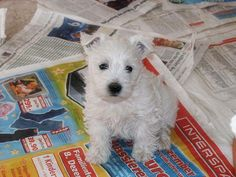 Looks exactly like my Angus when he was a pup xo Westie Puppies, Westies, Dogs And Puppies, Dachshunds, Doggies, Beautiful Dogs, Animals Beautiful, Cute Animals, I Love Dogs