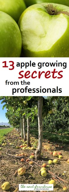 13 apple growing secrets from the pro's. These guys know how to get maximum production and bigger better apples. Here are their secrets geheimnisse 13 apple growing secrets from the professionals Growing Apple Trees, Growing Tree, Growing Plants, Growing Vegetables, Fruit Tree Garden, Garden Trees, Trees To Plant, Tree Planting, Herbs Garden