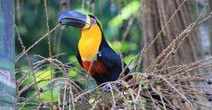 O desaparecimento de grandes aves na Mata Atlântica contribui para a extinção do palmito, conclui estudo publicado na revista Science nesta quinta-feira (3...