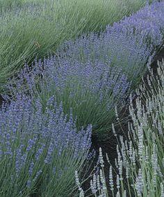 The Allure of Lavender