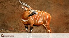 Bongos are fast runners and with their heads tilted up so that the horns lay along the back, are able to force their way through the forest rapidly. Big Animals, Nature Animals, Exotic Animals, Los Angeles Zoo, Different Types Of Animals, African Antelope, Animal Wallpaper, Hd Wallpaper, Wallpapers