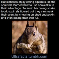 """Squirrels Use """"Snake Perfume"""" to Fool Predators.  To mask their odor from rattlesnakes, California ground squirrels and rock squirrels chew on sloughed-off snake skin and smear it on their fur. [x]  (Fact Source) For more facts, follow Ultrafacts"""