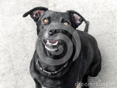 Photo about A close up view of a black dog watching what could drop. Image of family, friend, gardens - 140501450 Animals And Pets, Cute Animals, Family Images, Pet Puppy, All Dogs, Guinea Pigs, Dog Training, Your Pet, Puppies