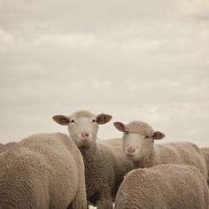Smiling Sheep Art Print by Laura Ruth, animal, photography, Farm Animals, Cute Animals, Smiling Animals, Lamas, Chamois, Baa Baa Black Sheep, Sheep Art, Counting Sheep, Sheep And Lamb