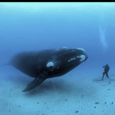 whale + scuba diving (not sure if I wanna get this close to one, but oh what a ride!)