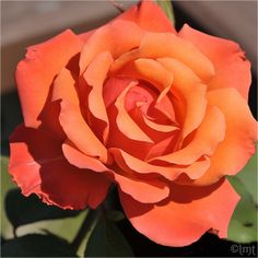 The ' Disneyland' rose flowers are about three to four inches across with 25 petals that have a light, spicy rose fragrance. Description from pinterest.com. I searched for this on bing.com/images