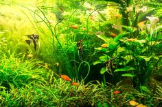 The right choice of LED lighting can promote vigorous, healthy plant growth in your aquarium. Using the best lighting in a planted aquarium is good for your fishes' wellbeing too. Read this informative guide to discover the best low-tech LED lights for thriving plants and vibrant betta fish colors too! #bestLEDaquariumlights #lightemup Aquarium Led, Led Aquarium Lighting, Planted Aquarium, Light Em Up, Low Light Plants, Aquarium Design, Photosynthesis, Plant Growth, Plant Species