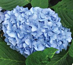 NEW! Hydrangea macrophylla Nantucket Blue™  Those of us in colder regions who aspire to grow Nantucket's famous blue Hydrangeas have our wishes granted. This new Mophead variety blooms on both old and new wood from early summer into frost on fast-growing shrubs with dark green leathery foliage. Acidify the soil to deepen the blue. 'Grenan'