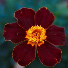 tagetes patula safari red