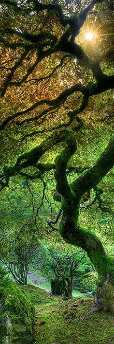 The world-famous Japanese maple at the Portland Japanese Garden in Oregon • photo: Jonathan Cohen on Redbubble
