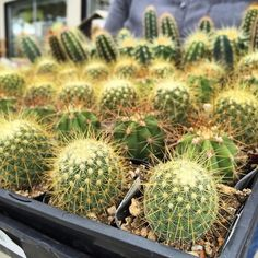 Cacti are so cute. They all look like misunderstood little plants to me...it's not their fault they are all pricks and thorns!  #cacti #cactus #cactuslovers #succulent #succulents #succulove #succulentlove #plants #grow #cute #beautiful #lovely #pretty #green #garden #mygarden #mygardens #gardening #nature #natural #nofilter #photo #photooftheday #allthefeels #feelings #lovethem #pic #picoftheday #instagardeners_feature #cuteness