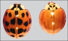 MU Extension publication G7369, Multicolored Asian Lady Beetle