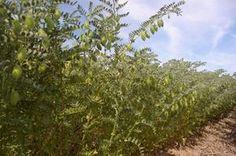 ÇAĞATAY NOHUT-ÇAĞATAY NOHUT ÇEŞİDİ   Morfolojik Özellikleri: Bitki boyu 45-60 cm, dik gelişen, makinalı tarıma uygun, açık bej tohum renginde,koçbaşı tohum şekli ve 1000 tane ağırlığı ortalama 470-500 g. arasındadır. Yaprakları diğer çeşitlere göre daha açık renklidir. İlk bakla yüksekliği 24-36 cm. dir